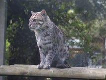 猫捕鱼 图库摄影