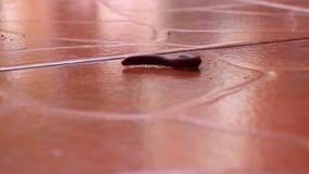 猫接触和嗅到小的千足虫它卷毛并且为在棕色铺磁砖的地板上的步行舒展 股票视频