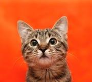猫接近的平纹 库存照片