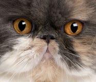 猫接近的波斯语 免版税库存图片
