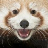猫接近的熊猫红色发光年轻人 库存图片