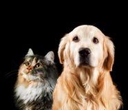 猫接近的狗纵向 查出在黑色背景 金毛猎犬和西伯利亚人 免版税图库摄影