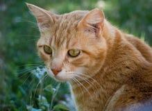 猫接近的眼睛面对似猫的绿色灰色视域 图库摄影