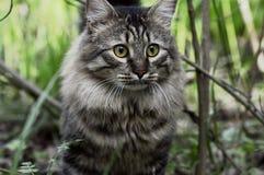 猫接近的纵向西伯利亚人 免版税库存照片
