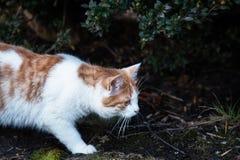 猫掩藏在灌木下并且寻找老鼠 免版税库存照片