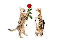 猫提出一朵玫瑰对猫,站立在后腿 免版税库存照片