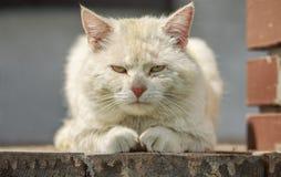 猫教父 免版税库存图片