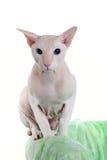 猫无毛的peterbald 图库摄影