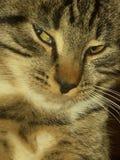 猫明智的汤姆 库存图片