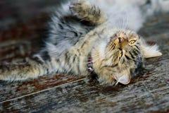 猫是非常逗人喜爱使用在议院的地板上 免版税图库摄影