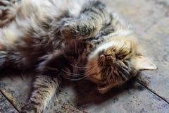 猫是非常逗人喜爱使用在议院的地板上 库存图片