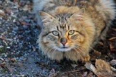猫是felines的家庭动物 免版税库存照片