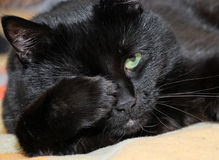 猫暗中侦察 库存图片