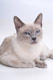 猫暹罗困 库存照片