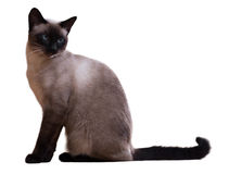 猫暹罗开会 免版税库存图片