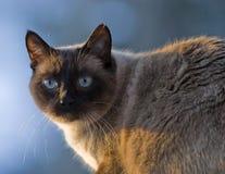 猫暹罗语巧克力的点 免版税库存照片