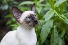 猫暹罗语点的密封 免版税库存图片
