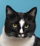 猫有蓝色背景 免版税库存图片