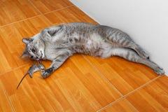 猫杀害鼠 库存图片