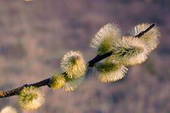 猫杨柳开花的分支  春天天气 棕枝全日 库存图片