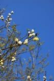 猫杨柳开花的分支  库存照片