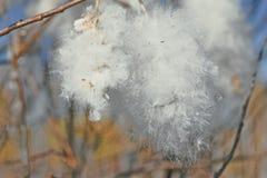 猫杨柳的毛茸的芽 免版税库存图片