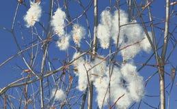 猫杨柳的毛茸的芽 图库摄影