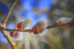 猫杨柳的毛茸的芽 免版税图库摄影