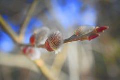 猫杨柳的毛茸的芽 库存图片
