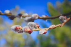 猫杨柳的毛茸的芽 免版税库存照片