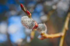 猫杨柳的毛茸的芽 库存照片