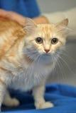 猫柔和的桃子颜色 免版税库存照片