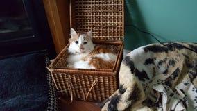 猫查理 免版税库存照片
