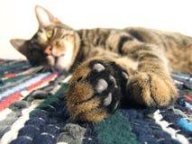 猫查阅 免版税图库摄影