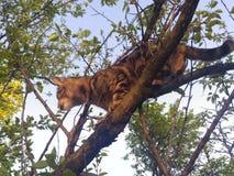 猫树 图库摄影