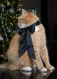 猫桔子平纹 库存图片