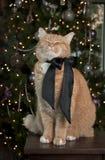 猫桔子平纹 库存照片