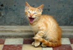 猫橙色叫喊的平纹 库存图片