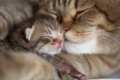猫母亲和年轻小猫睡觉面颊对面颊一起 免版税图库摄影