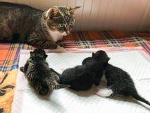 猫母亲照看婴孩 免版税库存图片