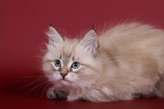 猫母小猫点密封西伯利亚人平纹 免版税库存图片
