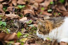 猫比赛鼠标 库存照片