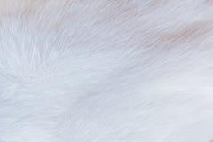 猫毛皮期限接近度 免版税库存图片