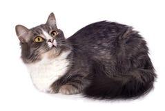 猫毛茸的灰色 库存图片