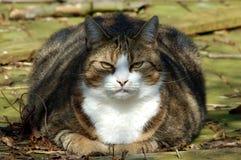 猫油脂 免版税库存图片