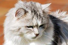 猫波斯人纵向 图库摄影