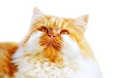 猫波斯语 库存照片