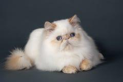猫波斯语 库存图片