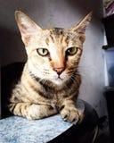 猫注视 图库摄影