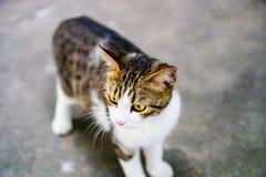 猫泰语,泰国眼睛黄色与老虎的猫白色身体 免版税库存照片